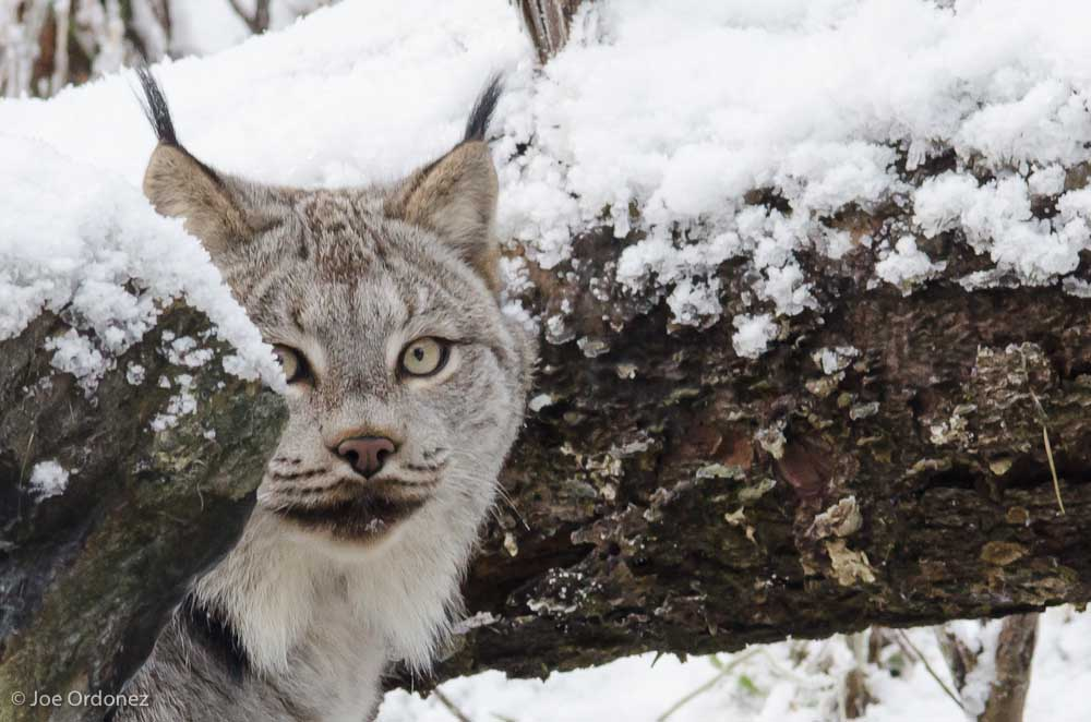 Hide and Seek with a Lynx
