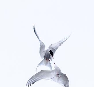 Tern Ballet