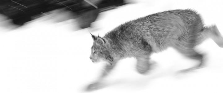 Off-season in Alaska: Two lynx photos