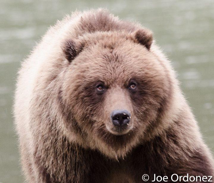 Bear vs. Porcupine